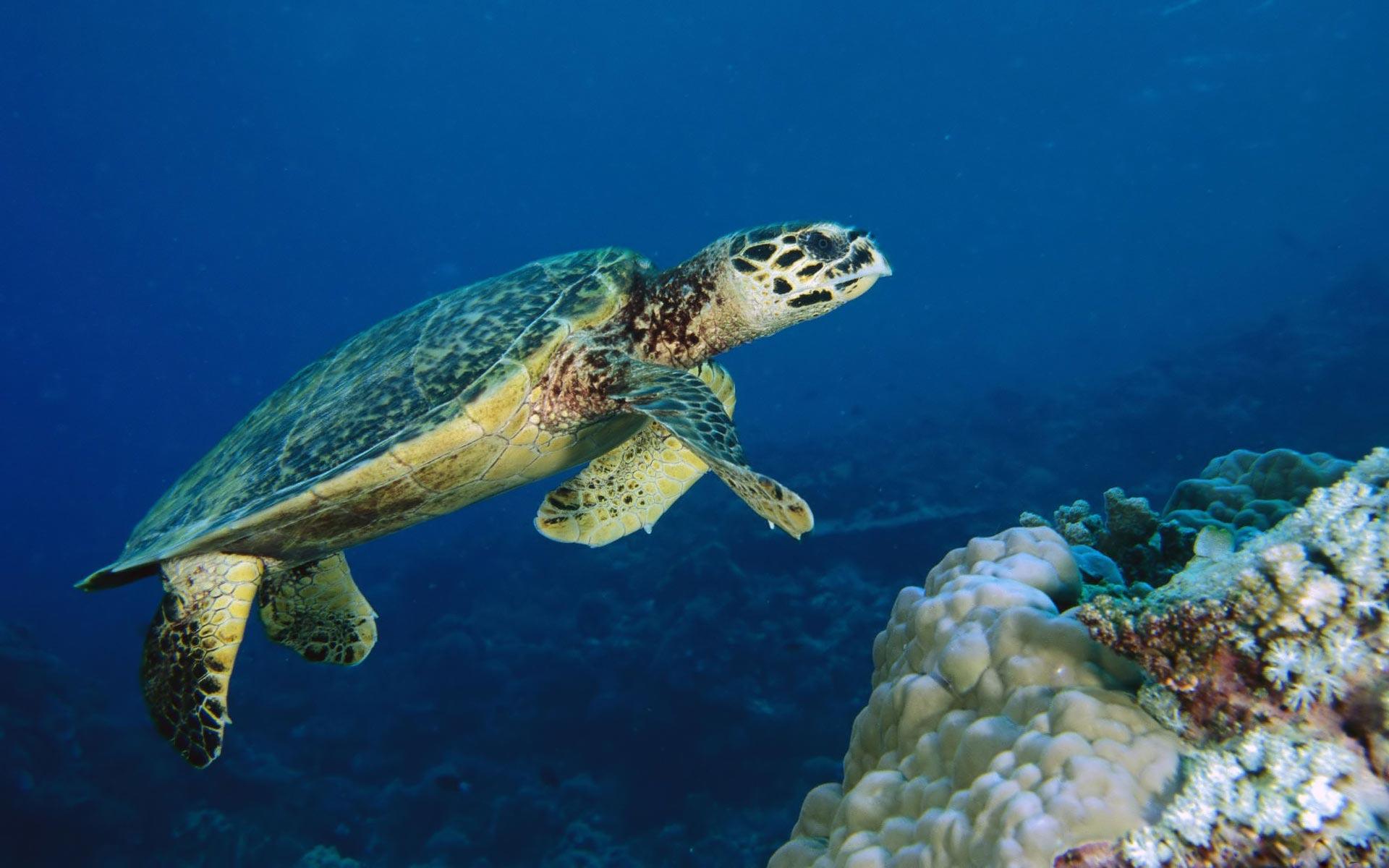 Sea turtle - underwater life