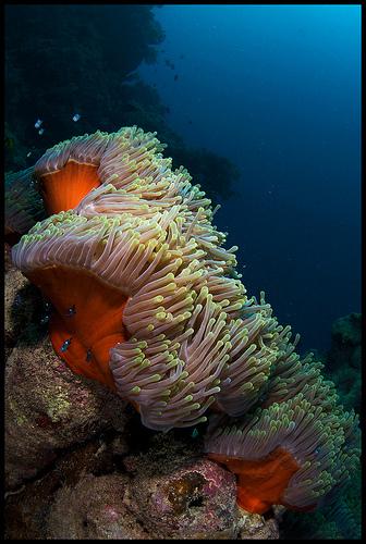 Anemonen Red sea